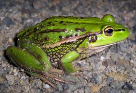 growling grass frog