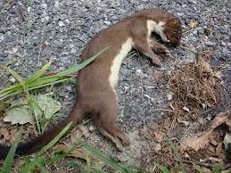 dead weasel