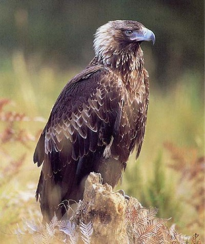 tasmanian-wedge-tailed-eagle-420x0