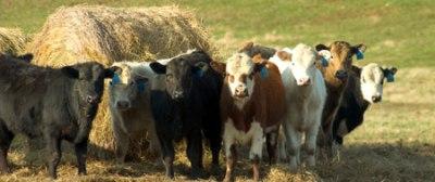 cows-hay