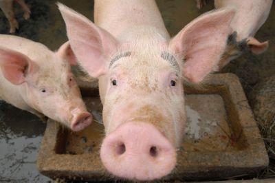 Piglets-Snout-2270058