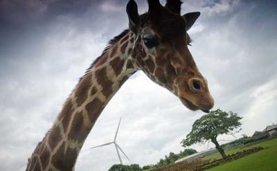 giraffe-and-turbine-540x334