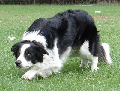 border-collie-16