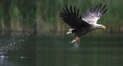 SEA-EAGLE-Action-01
