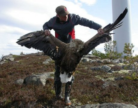 dead_white-tailed_eagle-500