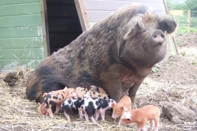 piglets_feeding
