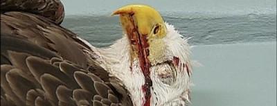 eagle-take-permits-dead-eagle