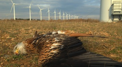 Red kite killed at Navarre Wind farm