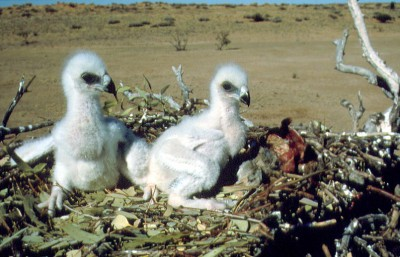 wedge-tailed_eagle_chicks